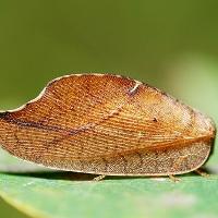 Гемеробия серпокрылая