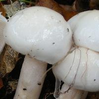 Гигрофор белый