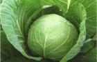 Сорт капусты белокочанной: Глория f1