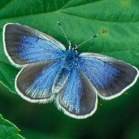 Голубянка алексис