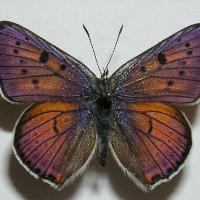 Голубянка аргали