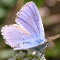 Голубянка белларг
