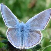 Голубянка икар