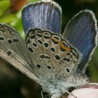 Голубянка торфянниковая