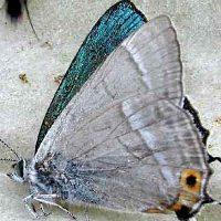Голубянка зефир