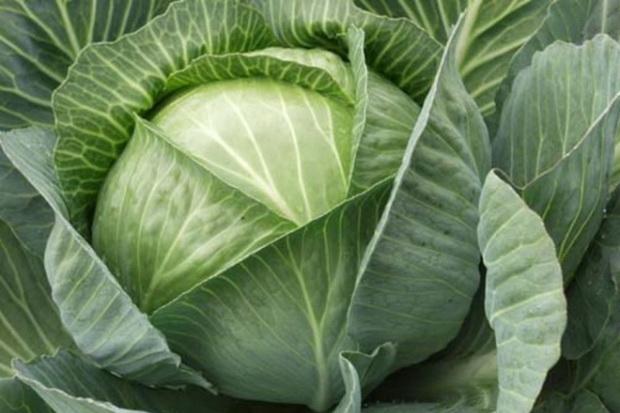 Сорт капусты белокочанной: Горлица
