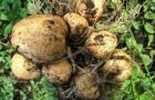 Сорт картофеля: Горянка