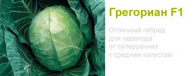 Сорт капусты белокочанной: Грегориан   f1