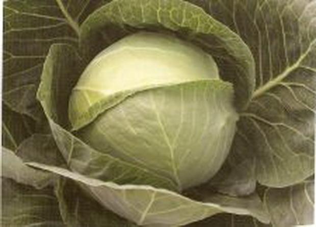Сорт капусты белокочанной: Грепала   f1