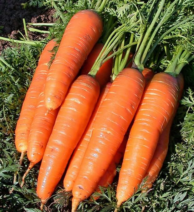 Сорт моркови: Грибовчанин   f1