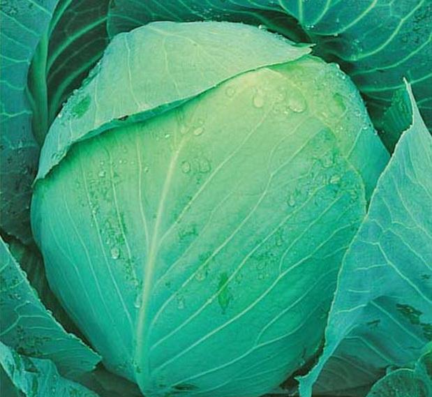 Сорт капусты белокочанной: Халиф   f1
