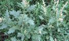 Сорняки на картофельной грядке. .  Вырасти клубням мешают сорняки: щетинник...