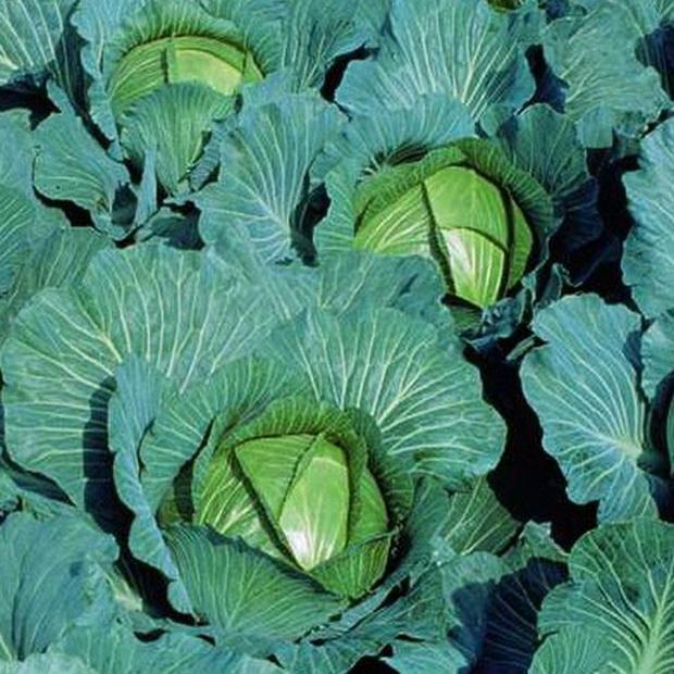 Сорт капусты белокочанной: Хинова   f1