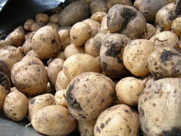 Сорт картофеля: Хузар