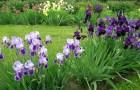 Ирис в саду
