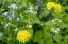 Использование препаратов из сорняков в качестве инсектицидов