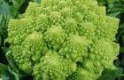 Сорт капусты цветной: Изумрудный кубок