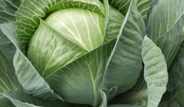 Сорт капусты белокочанной: Ка 780   f1