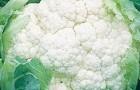 Сорт капусты цветной: Кафано f1