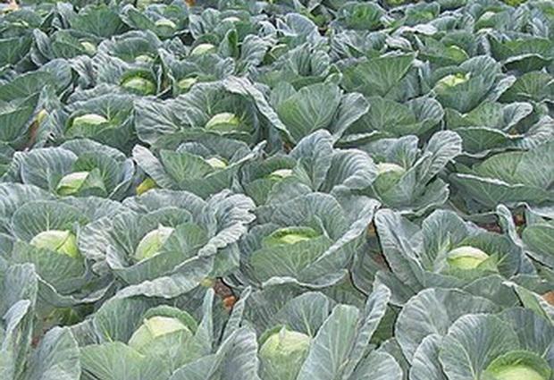 Сорт капусты белокочанной: Камбрия   f1