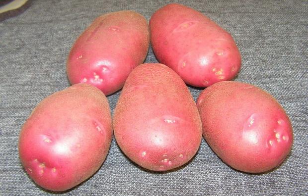 Сорт картофеля: Каменский