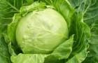 Сорт капусты белокочанной: Камея