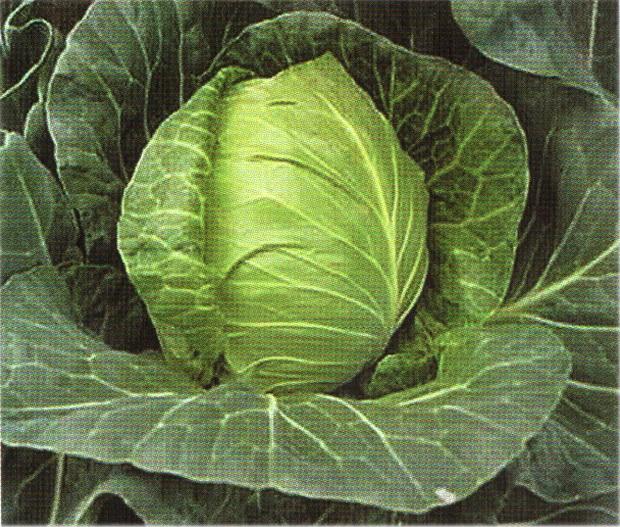 Сорт капусты белокочанной: Кампра   f1