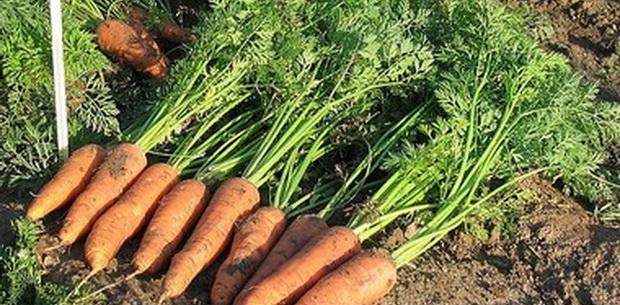 Сорт моркови: Канада   f1