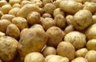 Сорт картофеля: Каратоп
