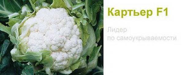 Сорт капусты цветной: Картьер   f1