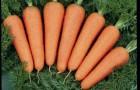 Сорт моркови: Каскад f1
