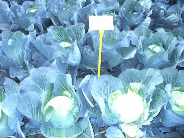 Сорт капусты белокочанной: Каунтер   f1