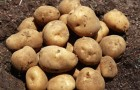 Сорт картофеля: Кибиц