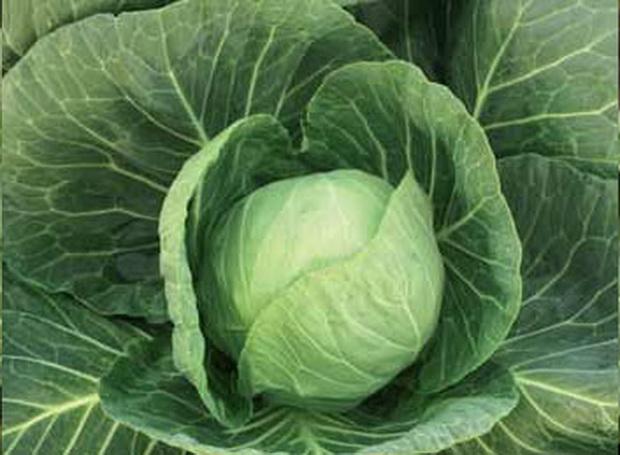 Сорт капусты белокочанной: Килагрег   f1