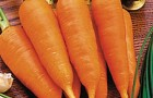 Сорт моркови: Китайская красавица