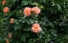 Композиция с липой и кустовыми розами