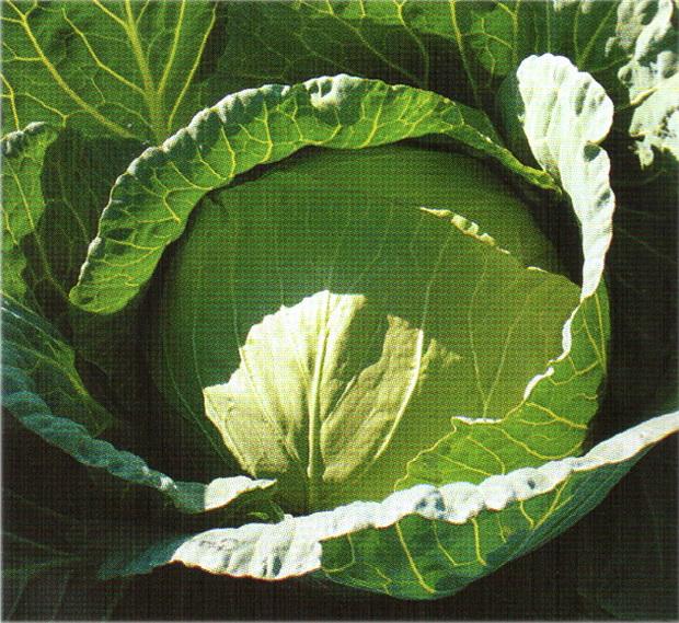 Сорт капусты белокочанной: Конкистадор   f1