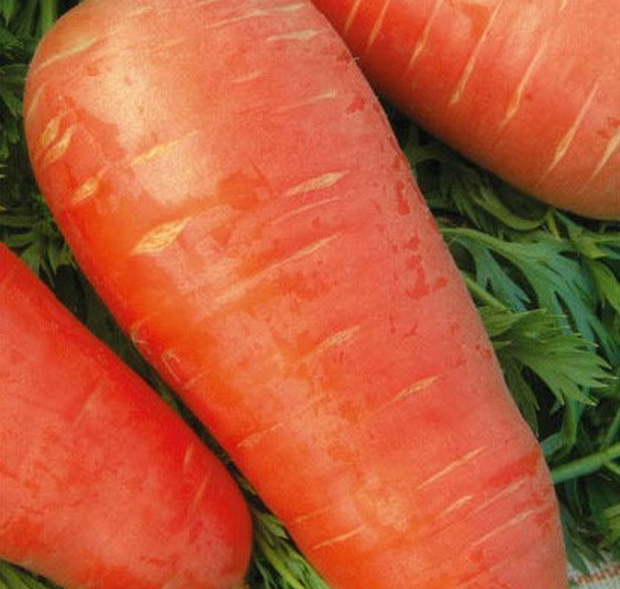 Сорт моркови: Кордоба   f1