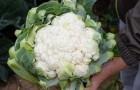 Сорт капусты цветной: Кортес f1