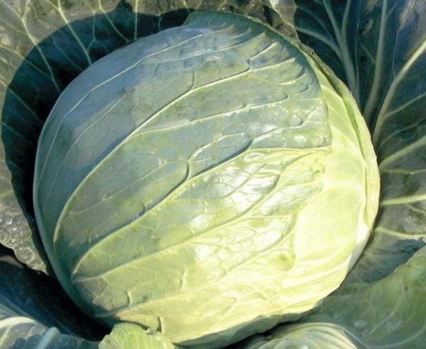 Сорт капусты белокочанной: Козак   f1