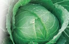 Сорт капусты белокочанной: Крафт f1