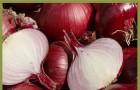Сорт лука репчатого: Красный кардинал