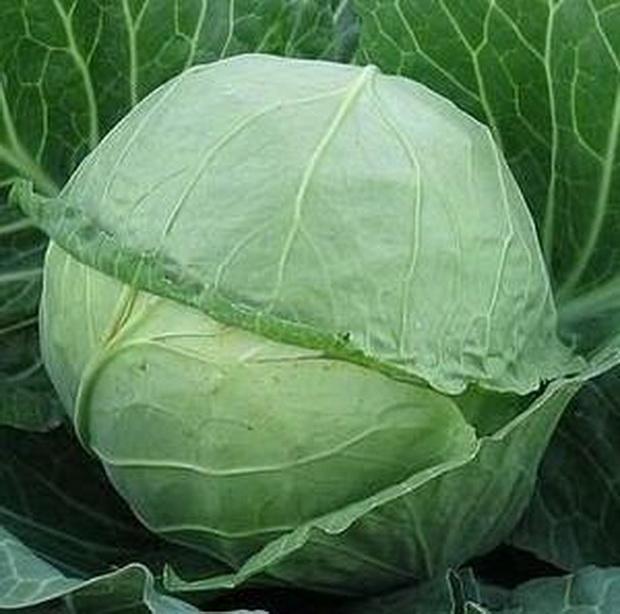 Сорт капусты белокочанной: Крауткайзер   f1