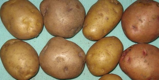 Сорт картофеля: Крепыш