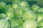 Сорт капусты белокочанной: Кронос f1