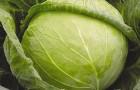 Сорт капусты белокочанной: Квалитория f1