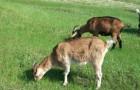 ЛПХ - альпийская порода коз