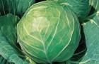 Сорт капусты белокочанной: Лаки болл f1
