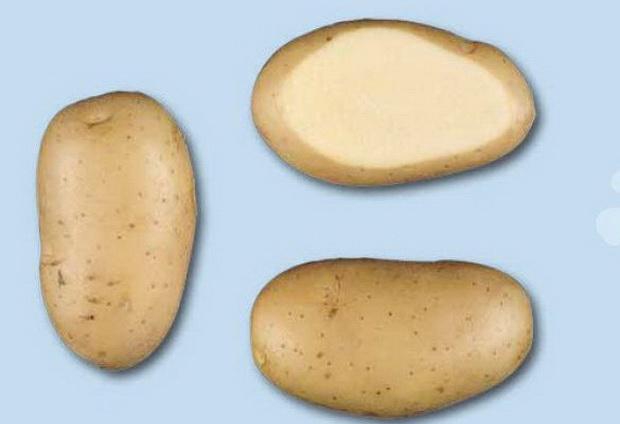 Сорт картофеля: Леди олимпия