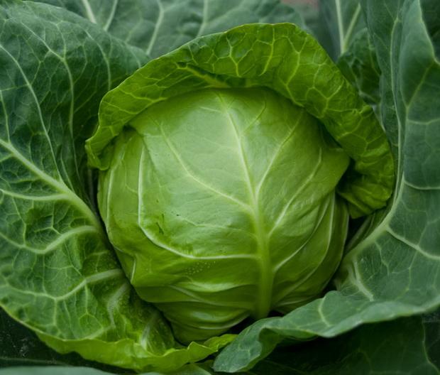 Сорт капусты белокочанной: Легат   f1